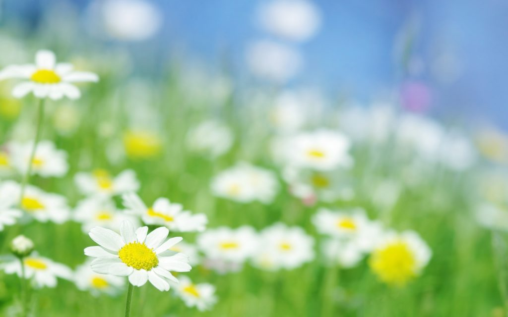 http___www.wallpaperbetter.com_wallpaper_731_346_373_chamomile-flowers-macro-2K-wallpaper
