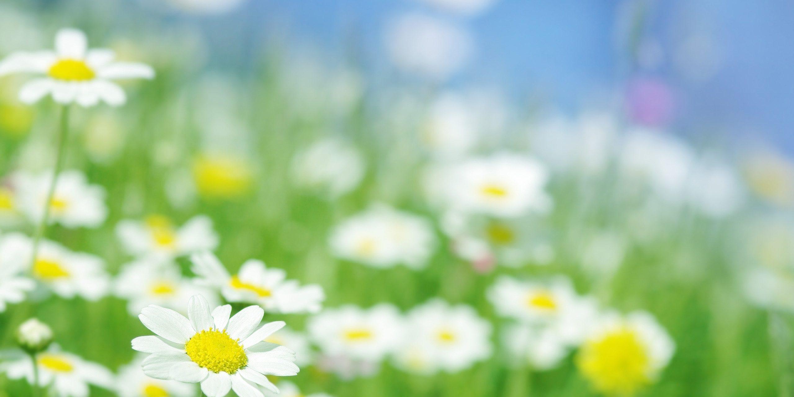 http___www.wallpaperbetter.com_wallpaper_731_346_373_chamomile-flowers-macro-2K-wallpaper